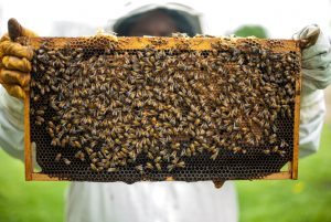 bee keeper holding bee hive frame